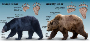 Bears-Distinctive-Features